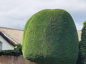 Hedges Hedge Cutting Near Me Hedge Trimming Liverpool